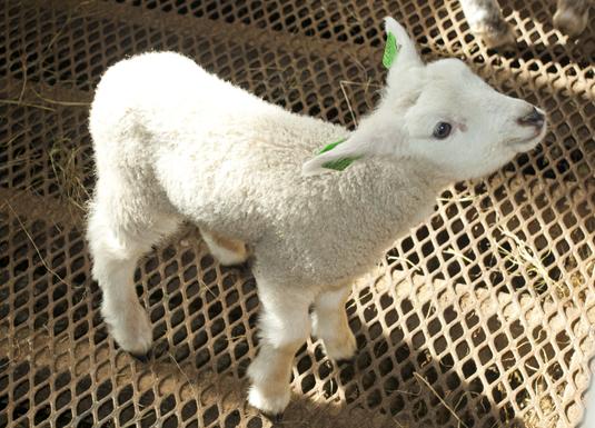 Redder flere lam