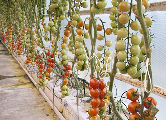 Dei norske tomatene er klare