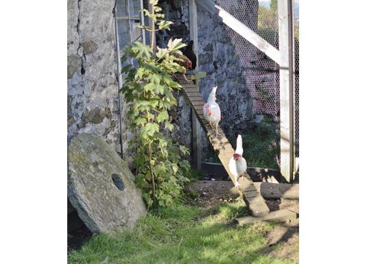 Denne hønsegarden har Karin laga sjølv, og hønene er blitt veldig flinke til å gå i stigen.