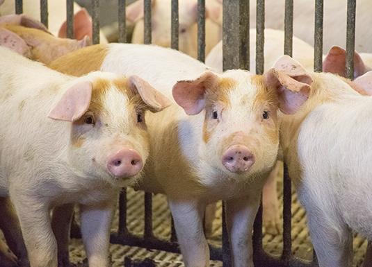 Smittebeskyttelse hos gris