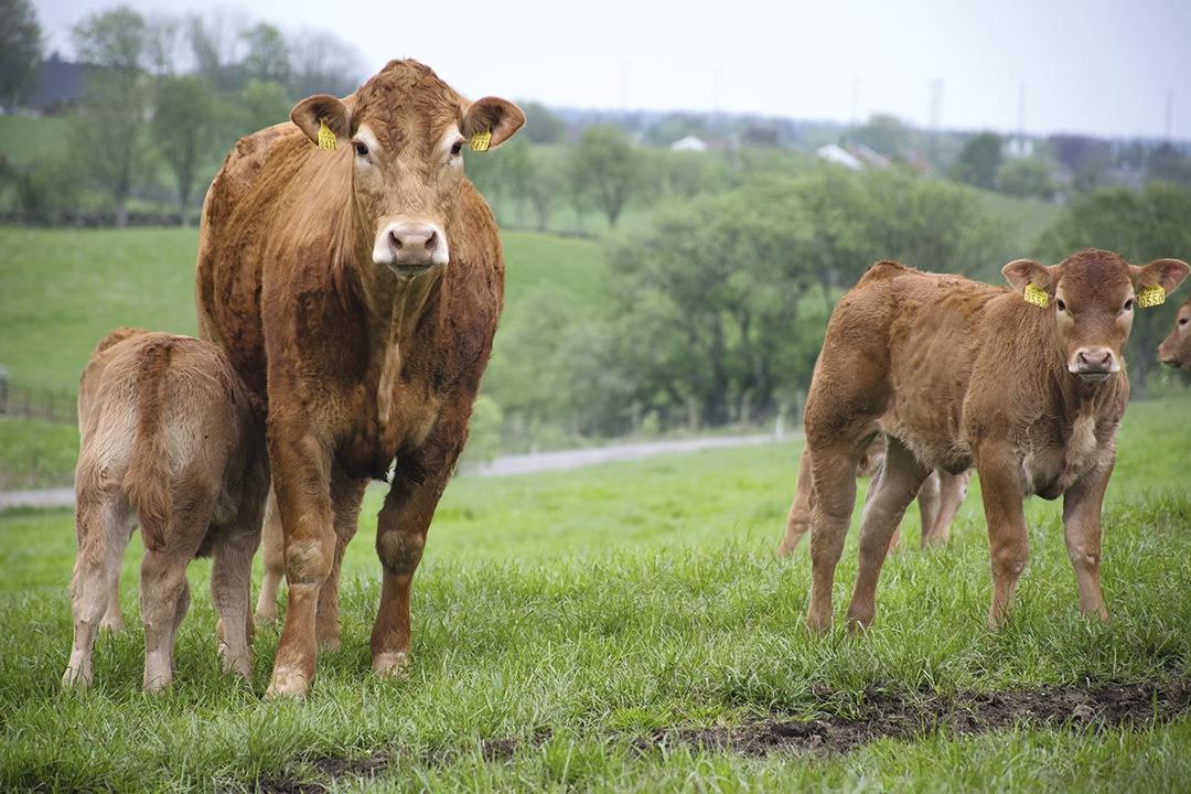 Andelen av slakt fra kjøttfe er omtrent 25 prosent. (Illustrasjonsfoto frå Bondevennen sitt arkiv