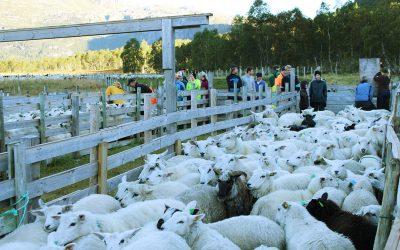 På sauesamling i Slettedalen