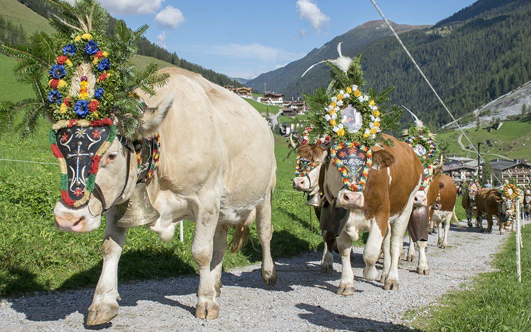 Tradisjon og fest når kyrne skal heim frå fjellbeite