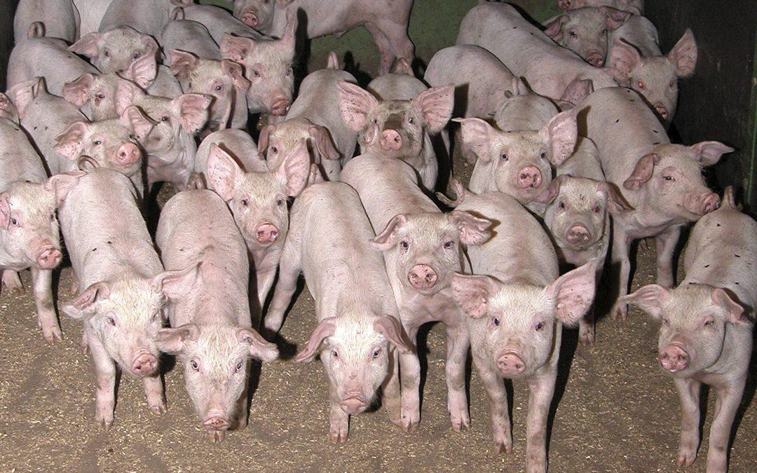 Skråblikk på europeisk svineproduksjon