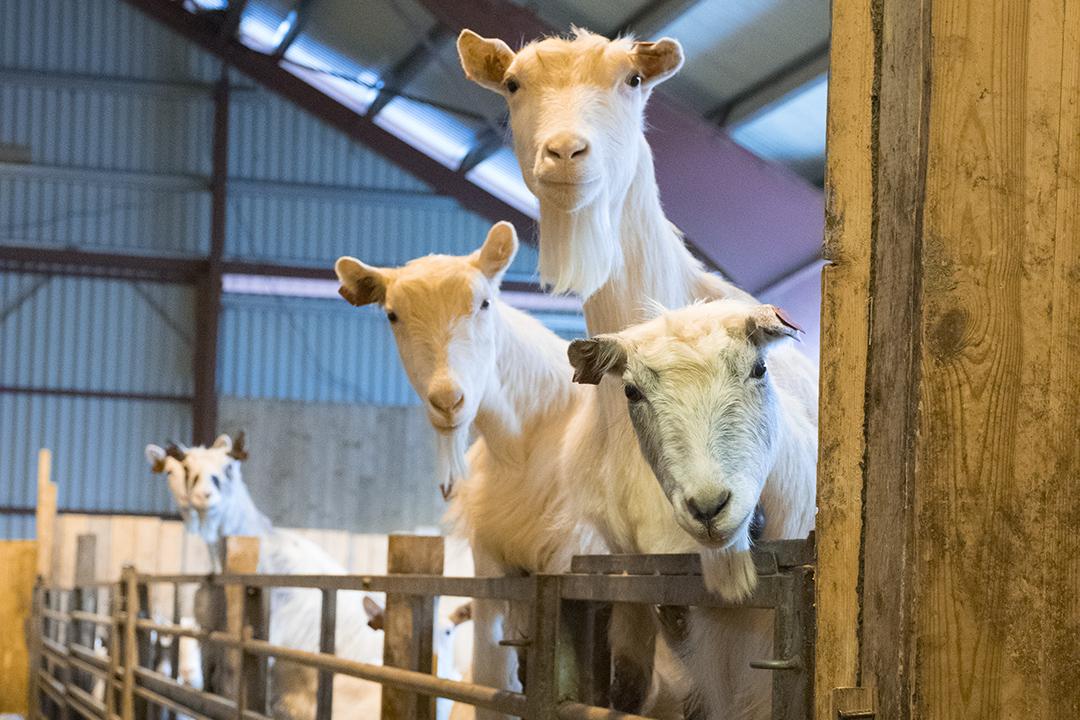 utsikter for norsk geitemjølk
