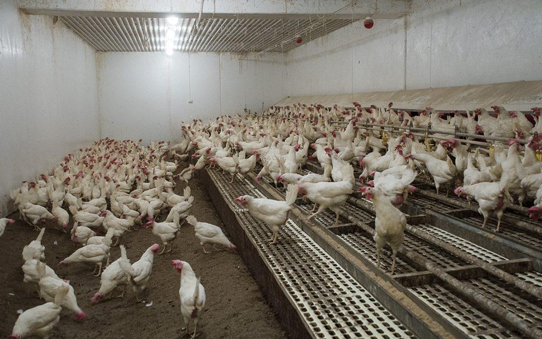 Bruk av kraftfôrsortimentet for optimal produksjon