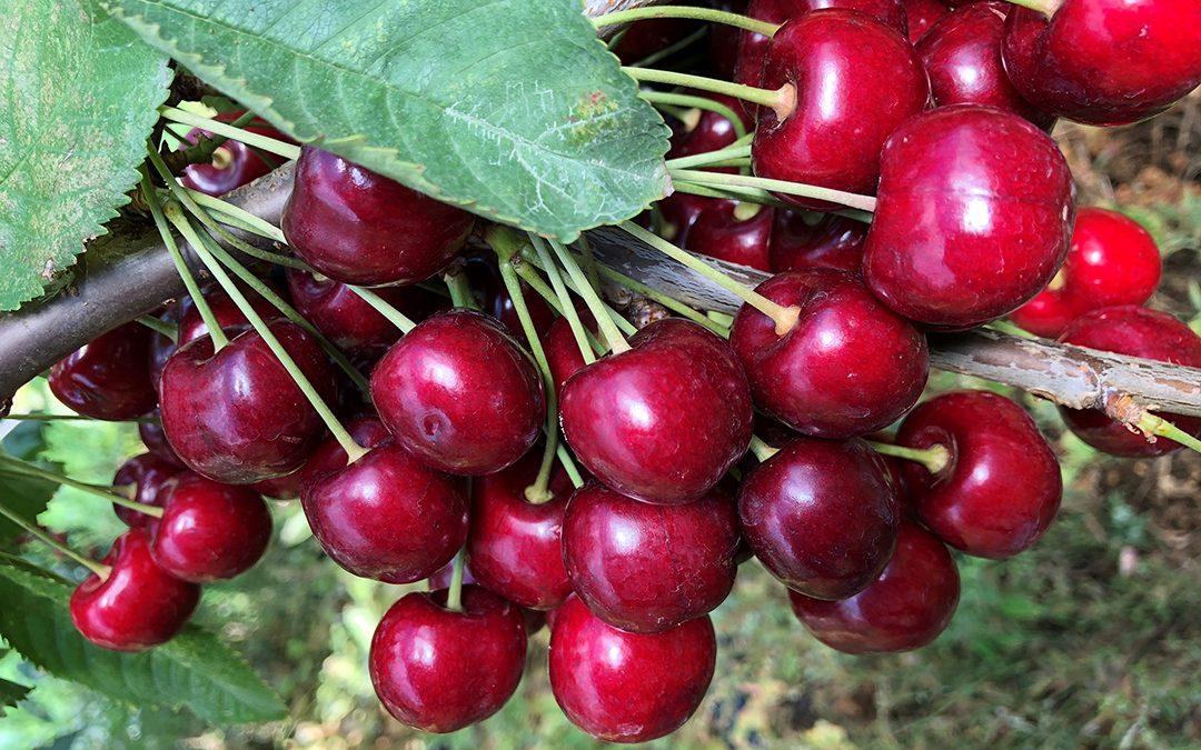 Hardanger bognar av frukt