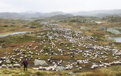 Sluttfôring av lam