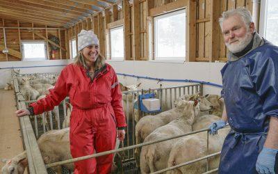 Opptekne av dyrehelse i lamminga