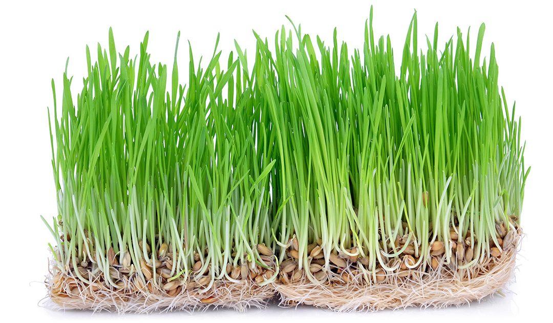 Frå korn til gras på ei veke