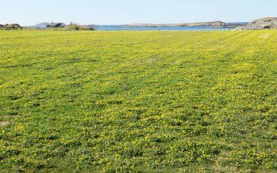 Vårkål – auka utbreiing på Vestlandet?