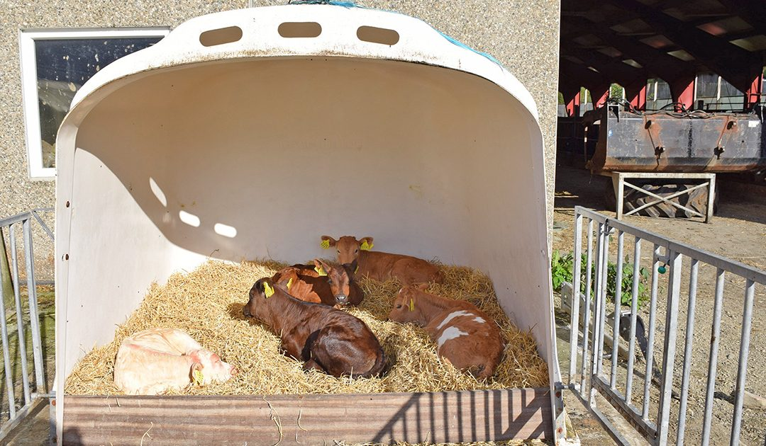 Ta godt vare på kalven i sommar
