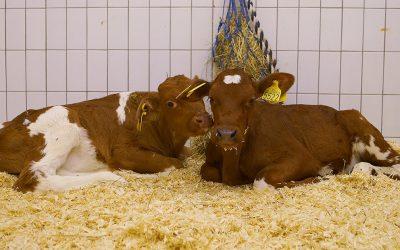 Kan kalven få mer melk?