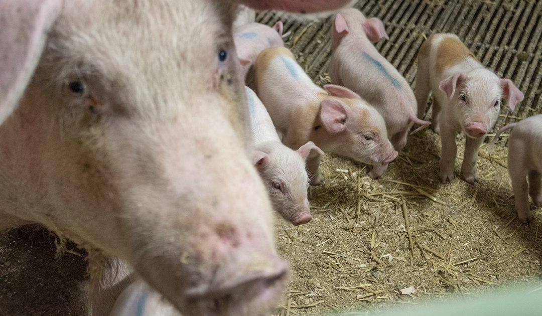 Utkjøpsordningen på gris
