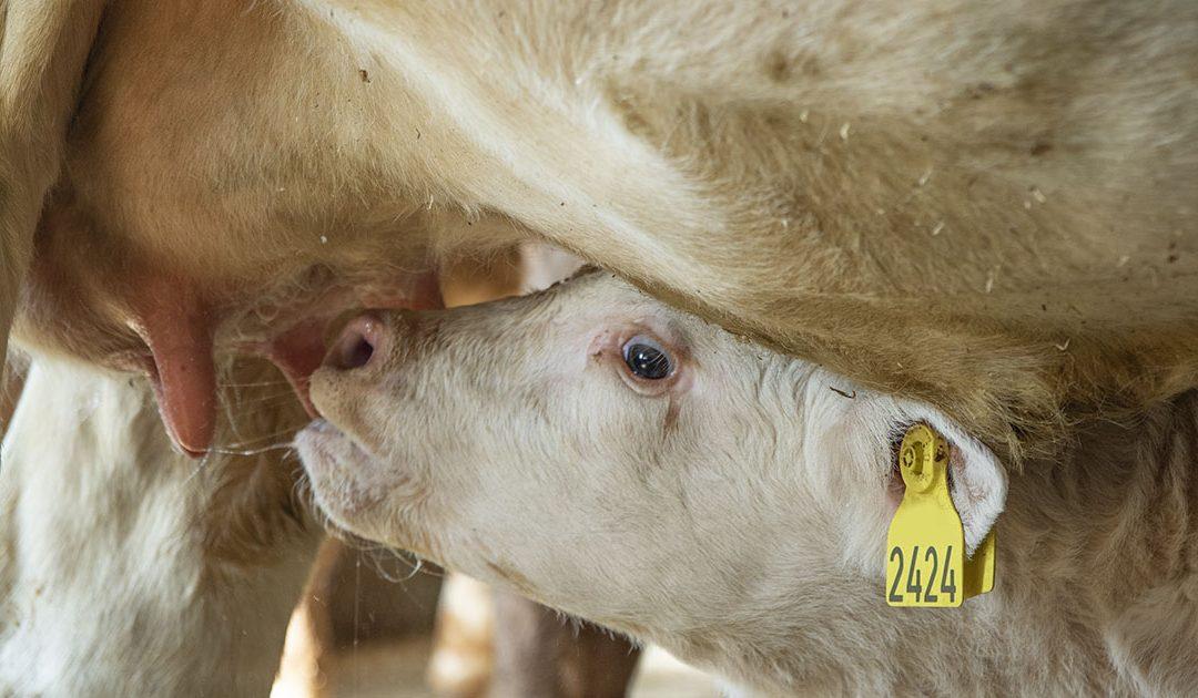 Kalvingsbingar i båsfjøs