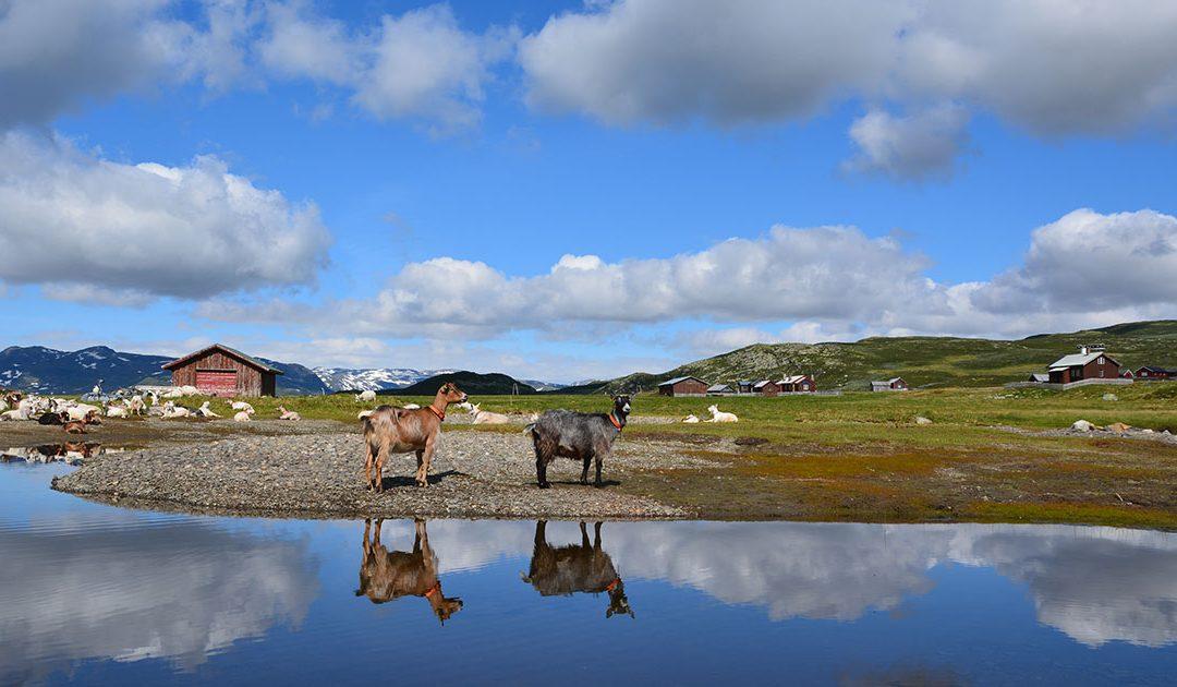 Odelsjenta i norsk landbruk