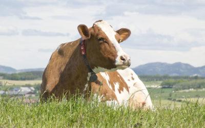 Høgare mjølkepris med kalving i mai