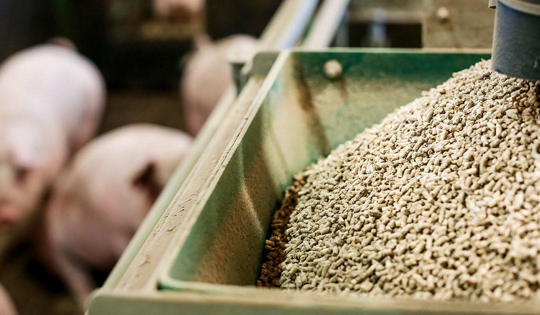 Gris: God hygiene i våtfôret avgjørende for gode resultater