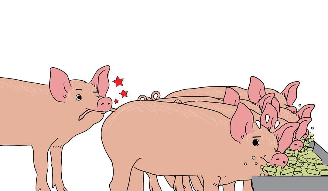 Dokumenter din basiskunnskap om dyrevelferd hos gris
