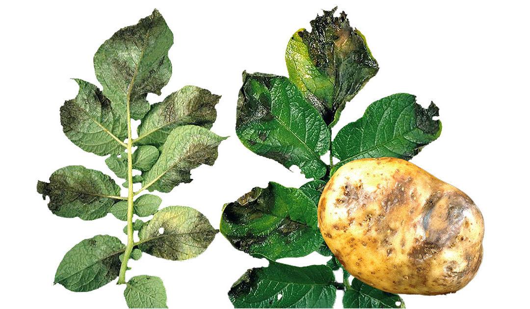 Nytt om plantevern i potet