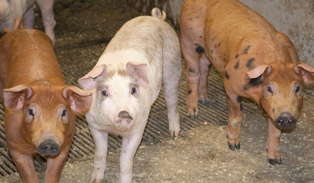 Ny tilsynskampanje på svin i 2021