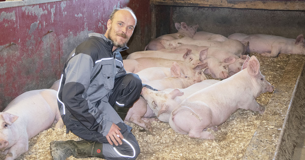 Bonde i grisebinge. Flere gris ligger og slapper av.