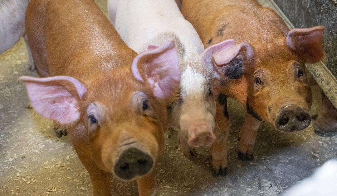 God gang for grisen