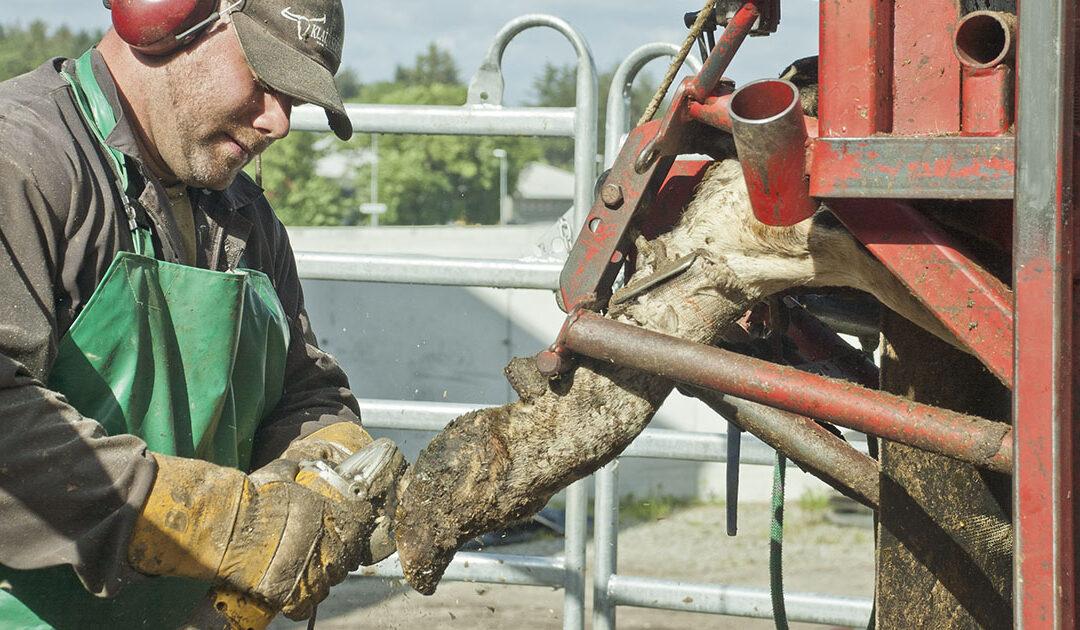Klauvskjering aukar risiko for kasting hjå høgdrektige kyr