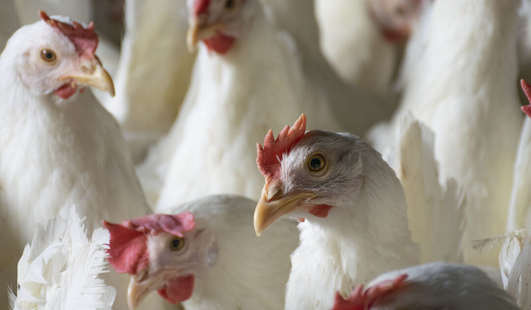Fugleinfluensa: Hele landet en risikosone