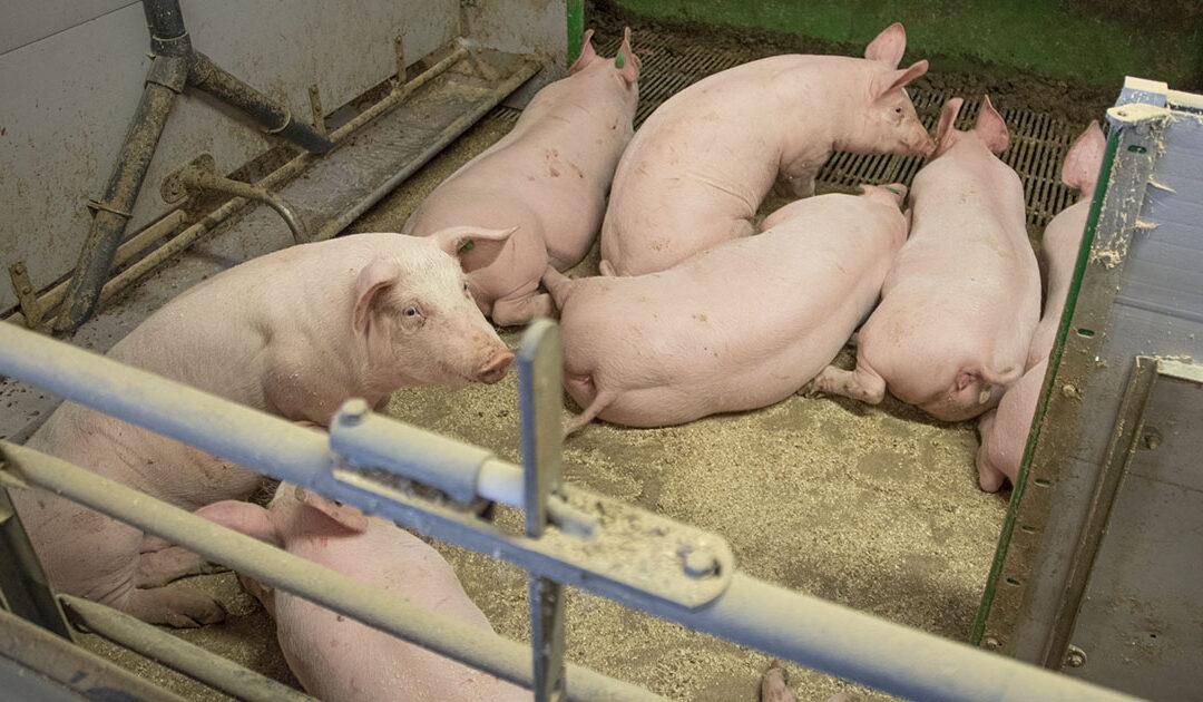 Nye avsløringar om manglande dyrevelferd