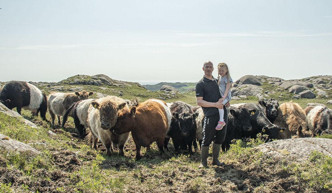 Skotske kyr i jærsk høgland
