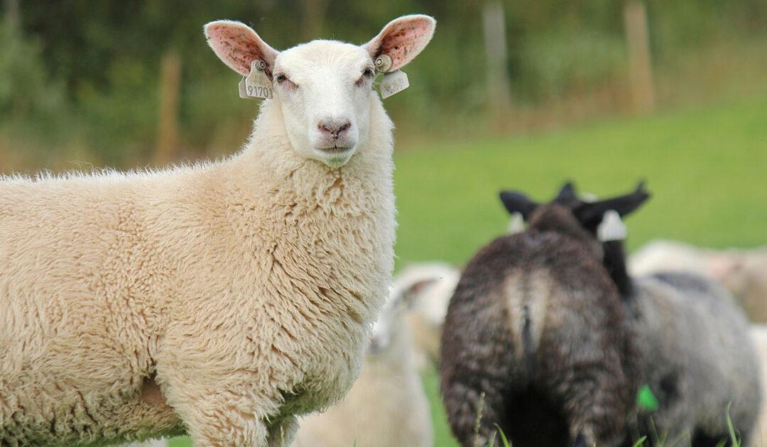 Økonomi med sluttfôring av lam