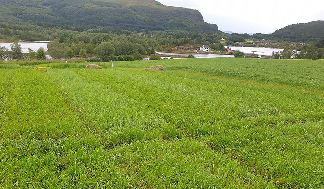 Overvintring av toårig raigras gav god avling