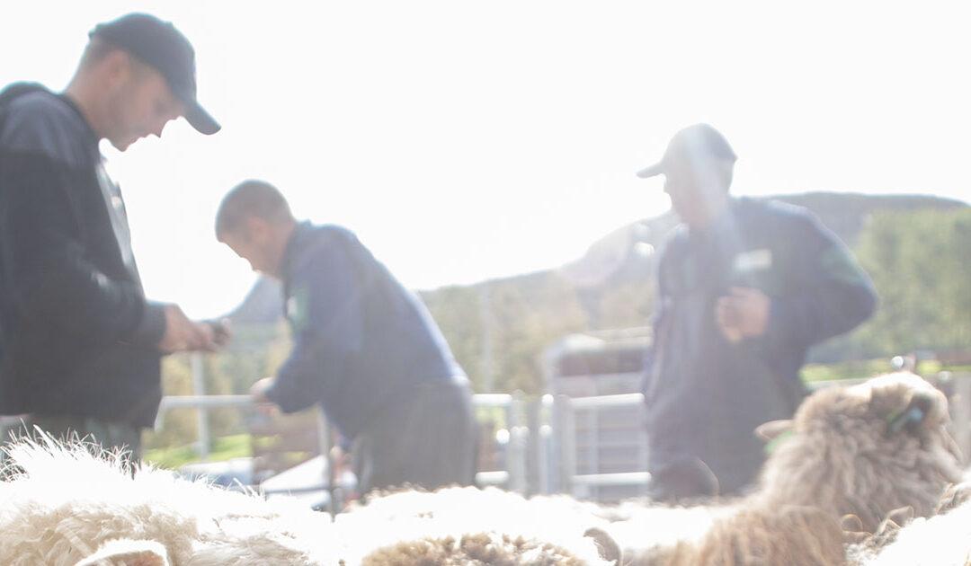 Sauebønder blir utestengt frå kåringssjå